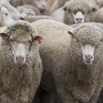 sheep-farm-series-3578044